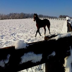 A yearling playing in the snow. 2012