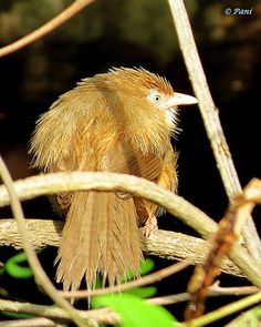 Tawny Bellied Babbler (Dumetia hyperythra) is an Old World babbler of the TIMALIIDAE family. The Old World babblers are a large family of Old World passerine birds characterised by soft fluffy plumage. These are birds of tropical areas, with the greatest variety in southeast Asia.