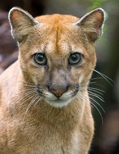 Cougar cub near Sirena Station in Corcovado National Park, Costa Rica - photo by Max Waugh