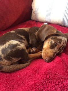 My little pup having a snooze! #snooze #dachsund #july #summer #dapple #dappledachsund #puppy #cute