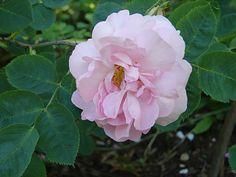 Celestial----------'Celestial', 'Céleste'  'Belle Aurore', 'Minden Rose'  1700-l. loppu, Hollanti
