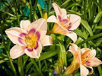 Ochutnejte denivky: Jedlé a chutné jsou květy i hlízy oblíbených trvalek