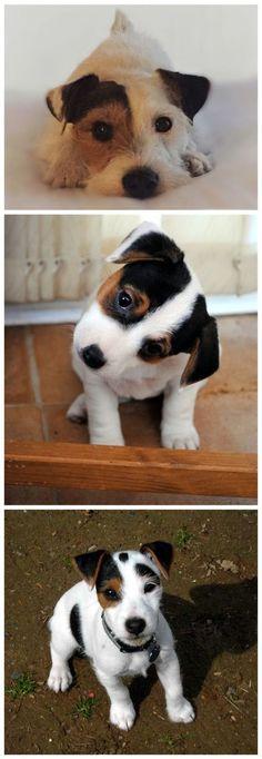 ✌    Mesures préventivesLe comportement agressif des Jack Russell Terrier peut être évité et contrôlé par une éducation correcte, un entraînement à l'obéissance et d'autres méthode a d'entraînement spécifiques à la nature de l'agression.