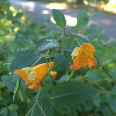 Jewelweed at Fresh Pond just now. #nofilter #nature #nature_magazine #urbannature #openspace #CambMa #cambridgeMA #igersboston #igersmassachusetts  @freshpondres @cambridgeschoolvolunteers #flowers by inthebigmuddy September 23 2015 at 08:18AM