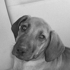Rhodesian Puppy...so cute!