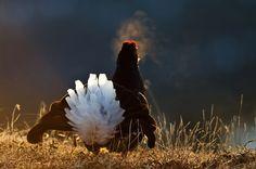 Tiur Nesbyen Bald Eagle, Norway, Places To Visit, Wildlife, Country, Animals, Animales, Rural Area, Animaux