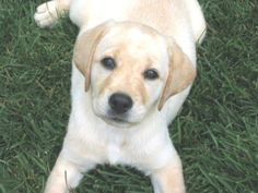yellow lab ♥