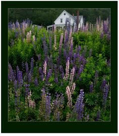 Cape Breton Island, Canada Must find out when the Lupines bloom! Places To See, Places Ive Been, Travel Log, Cape Breton, World View, Nova Scotia, Landscape Photos, East Coast, Mother Nature