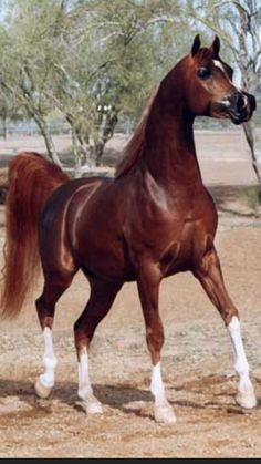 Psytanium 1998 ch.s. Padron's Psyche x NV Tiara Bey by Bey Shah