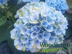 Hydrangea macrophylla Lollipop Hydrangea Macrophylla, Plymouth, Perennials, Nursery, Plants, Baby Room, Hydrangeas, Child Room, Plant