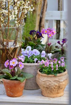 spring flowers in pots primula stepmother hornwolf A humble garden: Magnificent Container Flowers, Container Plants, Container Gardening, Blooming Flowers, Spring Flowers, Colorful Flowers, Beautiful Flowers, Fruit Flowers, Cottage Garden Design