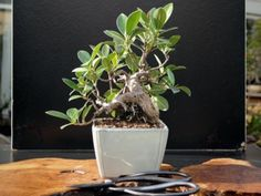 ficus ginseng ficus microcarpa entretien taille arrosage bonsa pot plante entretien. Black Bedroom Furniture Sets. Home Design Ideas