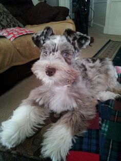 This Schnauzer has the most beautiful eyes!  Schnauzers are beautiful anyway but this one is exceptional.