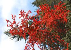 Full size picture of Chilean Fire Bush, Flame Flower (Embothrium coccineum)
