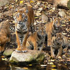 Sumatran Tiger Mother With Her Four cubs