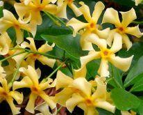 "Trachelospermum ""Star of Toscane"" – Gele sterjasmijn"