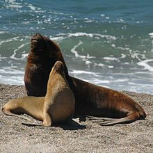 Male and female South American sea lions,