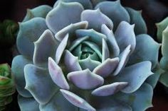 Succulent Plant Echeveria Lola  A beautiful by SucculentBeauties, $4.99