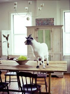 Thankfully, out of all the goats that have made it into our house, none made it as far as the top of the kitchen table. :)