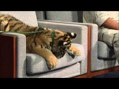 David Letterman - Jack Hanna's Siberian Tigers--you have to watch a commercial first, but this is hilarious!