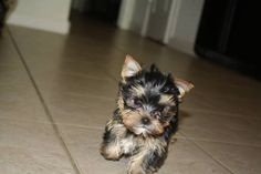 Yorkshire Terrier Puppies: