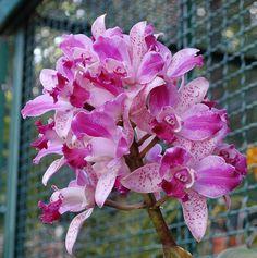 cattleya penny kuroda spots | Cattleya Penny Kuroda 'Spots' AM/AOS - Orchid Forum by The Orchid ...