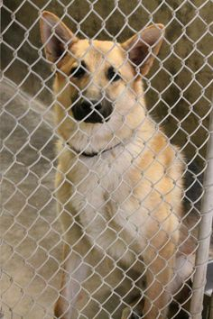 German Shepherd male 1-2 years old  Kennel A6  Available NOW!!! $51 to adopt and save a life  Located at Odessa, Texas Animal Control. 432-368-3527. https://www.facebook.com/speakingupforthosewhocant?fref=ts#!/speakingupforthosewhocant/photos/a.248402621850650.69312.248355401855372/768889006468673/?type=1theater
