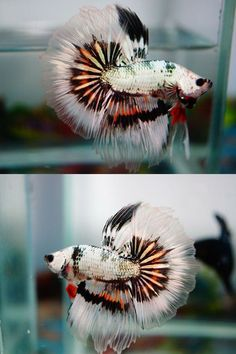 fwbettashm1397432087 - ***COPPER MONSTER FANCY*** #TropicalFishFreshwater