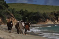 Vieques Island Horses,  Caribbean islands  6 Small-But-Perfect Caribbean Islands You Need to See