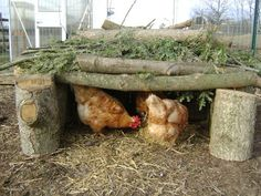 How to care for chickens in the winter. Good hawk cover too