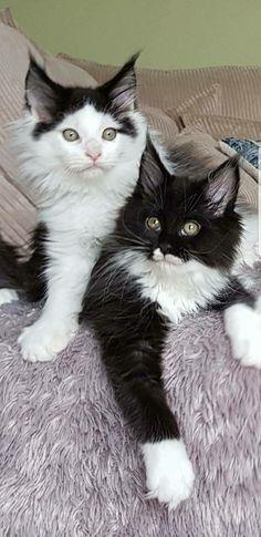 """Beautiful """"Ying & Yang"""" kittens..."""