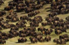 Custer State Park bison stampede