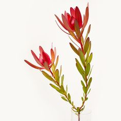 Wholesale Leucandendron flowers in bulks, order this beautiful filter with a perfect blend of green and red, great for floral centerpieces Tropical Flowers, Exotic Flowers, Amazing Flowers, Love Flowers, Lilies Flowers, Small Flowers, Purple Flowers, Protea Flower, Flower Pots