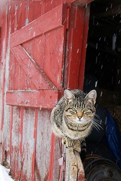 This is Tabby, the barn cat.
