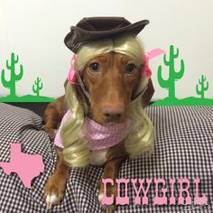 "Donna & Ninna on Instagram: ""Yeeehaw fweens!! Cowgirl Ninna here inviting you all to #13DaysOfHalloweenie!  Join the fun!!!  #halloweenie #dressup #halloween #cowgirl #texas #texasweenies #yeehaw #weenie #dog #doxie #dachshund #dachshundsofinstagram #dogstagram #instadog #dogsofinstagram #furbaby #blonde #greeneyes #weenteam"""