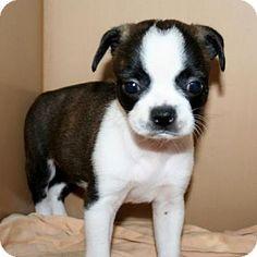 Boston terrier/chihuahua mix