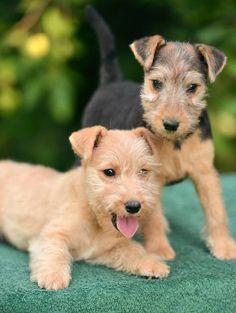 Image result for lakeland terrier