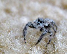 Metaphid Jumping Spider (Metaphidippus spp.)