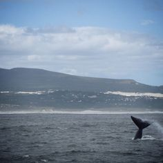 Looks like it's playtime in #Hermanus #SouthAfrica ! #whales #souuthernrightwhales #whalewatching #boating #ocean #seascapes #beauty #explore #adventure #travel #InstaTravel #magnificant #beautiful #picoftheday #photooftheday #tourist #holiday #vacation #bliss