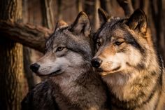 Two beautiful American Timber Wolves stand for a pose in the morning light. They are truly amazing animals!