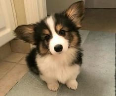 This lovely corgi puppy will bring you joy. Dogs are amazing companions. Cute Baby Animals, Animals And Pets, Funny Animals, Cute Dogs And Puppies, I Love Dogs, Cute Small Dogs, Corgi Dog, Corgi Husky Mix, Baby Corgi
