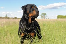 The Rottweiler is a large German guard dog breed that is deeply loyal to its family but wary of strangers. They are not a good choice for novice dog owners but make excellent watch dogs and guard dogs. Read more at http://iheartdogs.com/15-best-watch-dog-breeds/#PRKgJhfDGgUyMgkP.99