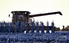 blue corn | Blue Corn Harvest Photograph by Dave Gigliotti - Blue Corn Harvest ...