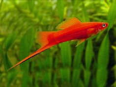 South American Cichlids, Just Fresh, Beautiful Fish, Freshwater Fish, Tropical Fish, Aquarium Fish, Swords, Fresh Water, Shrimp