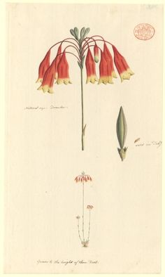 [Unidentified plant, possibly the Christmas Bell Blandfordia nobilis ] Christmas Bells, Christmas Ideas, First Fleet, Australian Wildflowers, Australian Native Garden, Australian Christmas, Christmas Illustration, Painting Patterns, Watercolor Illustration