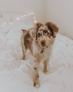125 Best puppy love  images in 2019   Teacup australian