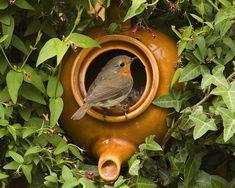 An English Robin in a teapot. How terribly British. Red Robin, Robin Bird, European Robin, Robin Redbreast, British Wildlife, Little Birds, Bird Watching, Bird Feathers, Beautiful Birds