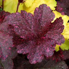 Sparkles In The Dark Coral Bells Midnight Rose, Heuchera 'Midnight Rose', has burnished black leaves that are speckled with hot pink in the spring. As the season progress, the spots turn cream and green and the foliage becomes lighter.