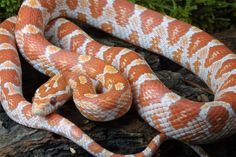 Pantherophis guttata; Corn Snake -- If you don't have a cat, this snake will keep your rodent population in check.