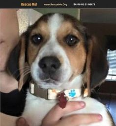 Check out Minnie's profile on AllPaws.com and help her get adopted! Minnie is an adorable Dog that needs a new home. https://www.allpaws.com/adopt-a-dog/beagle-mix-australian-cattle-dog-blue-heeler/4057351?social_ref=pinterest